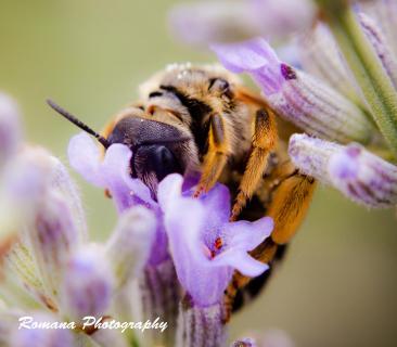 Biene beim Sammeln von Nektar