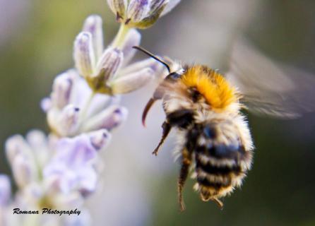 Honigbiene im Abflug