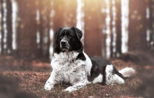 Bulgarischer Hirtenhund