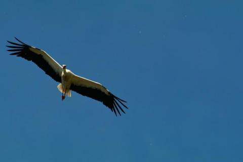 20170611 Storch Flug 5