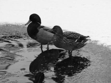 Entenpärchen auf dem zugefrorenen Teich