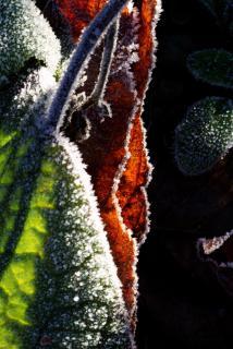 Raureif auf Blätter im Gegenlicht