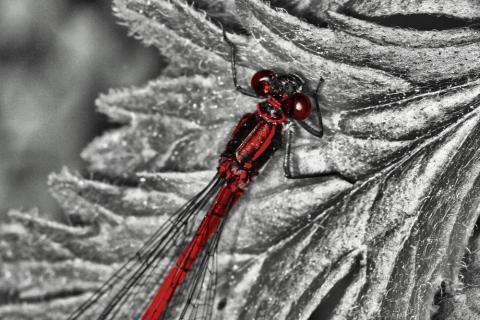 rote Libelle auf Silberblatt