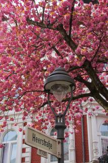 Bonner Kirschblüte in der Altstadt