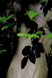 Bläterschatten auf Baumstamm