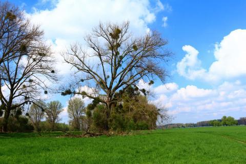 Mistel Bäume