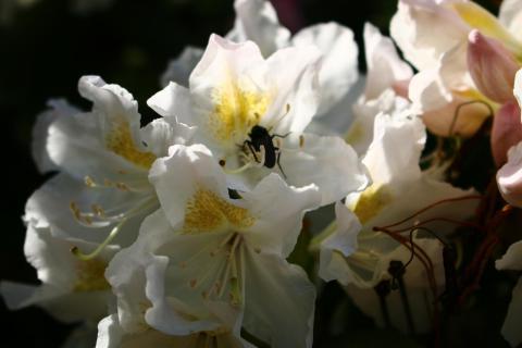 Besucher in weißer Blüte