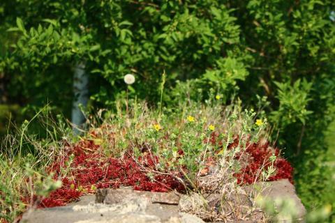 Mauer Pflanzen