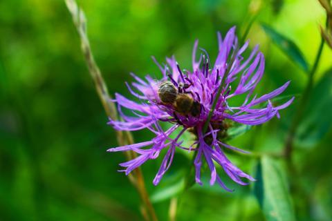 Biene auf blauer Wiesenblüte