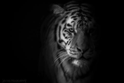 ... Tiger