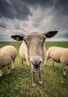 ...das Schaf
