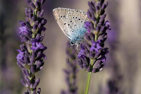 Bläuling im Lavendelfeld