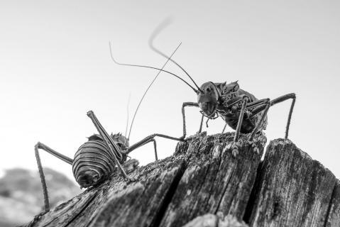 Revierkampf der Panzerheuschrecken