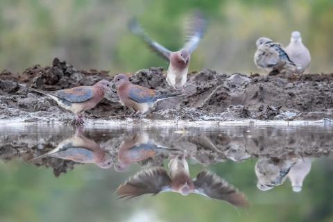 Tauben beim Morgenbad
