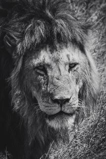 Kenia Löwe SW