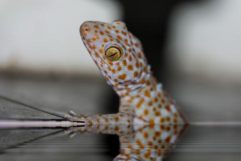 grosser Gecko
