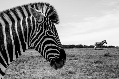 Zebra halb und ganz