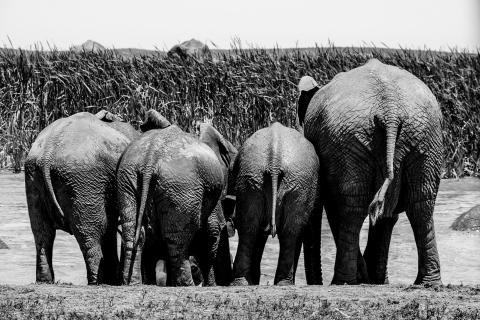 Elefantenquartett