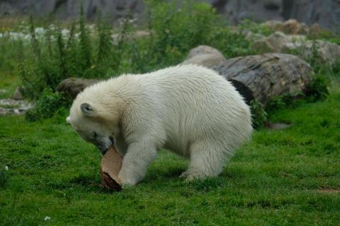 Der kleine Eisbär...