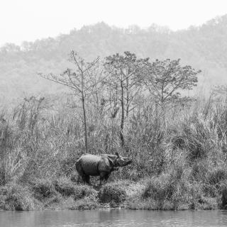 Nashorn Nepal