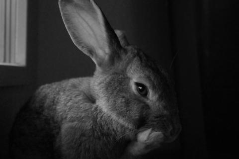 Kaninchenportrait sw