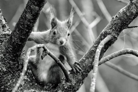 Eichhörnchen, cooler Typ