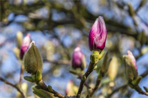 -macro- Magnolienblüte 1