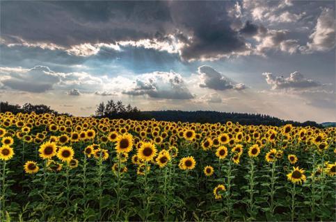 Bedrohliche Wolken über dem Sonnenblumenfeld
