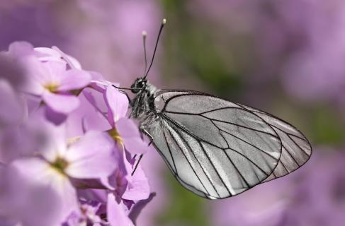 Baumweißling im lila Paradies