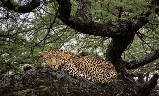 Leopard_Serengeti_20181219 1