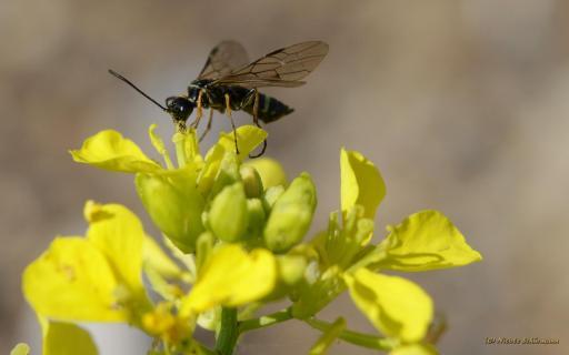 Fliege schwarzgelb 1