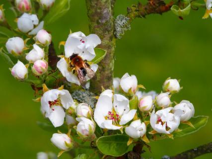 Apfelblüte mit Biene