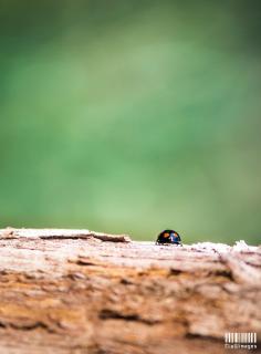 Beetle on the run