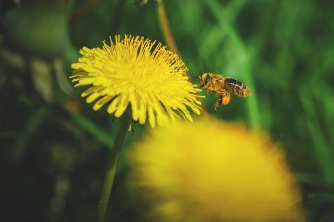 Biene Löwenzahn
