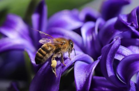 Honigbiene an Hyazinthe