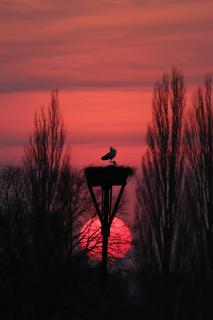 Störche vor Abendsonne