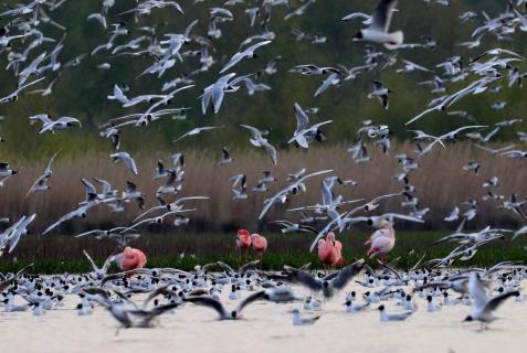 Flamingos mit Möwen