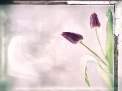 Zwei Tulpen