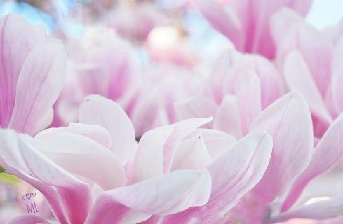 Magnolie oder Tulpenbaum