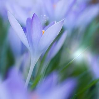 Krokus im Frühling