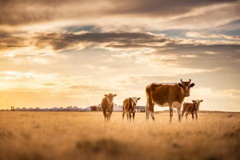 Kühe in der Wüste