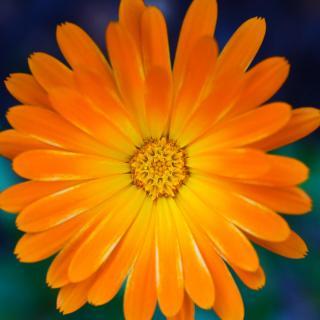 Blütenpunkt
