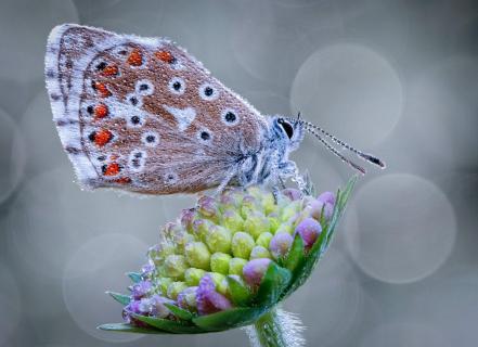 Bläuling auf Korbblütler