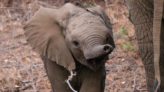 Elefanten-Junges