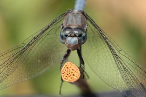 Libelle auf Stöckchen