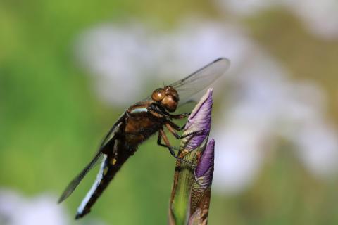 Libelle an Blüte