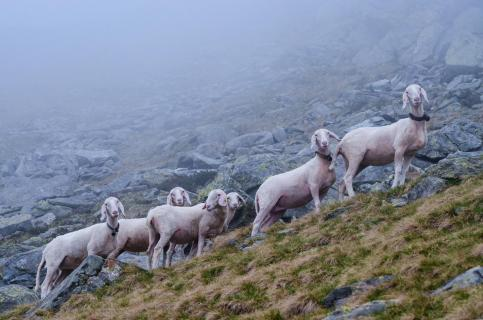 Der Blick der Schafe