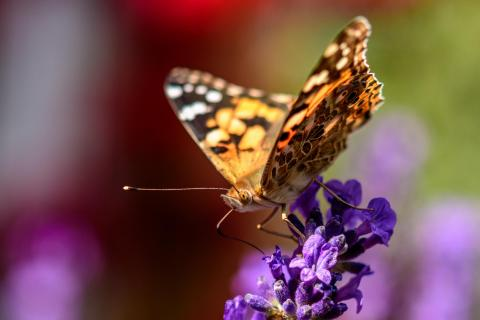 Schmetterling trifft Lavendel