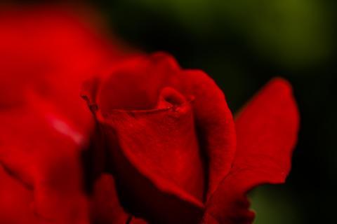 Rose exponiert