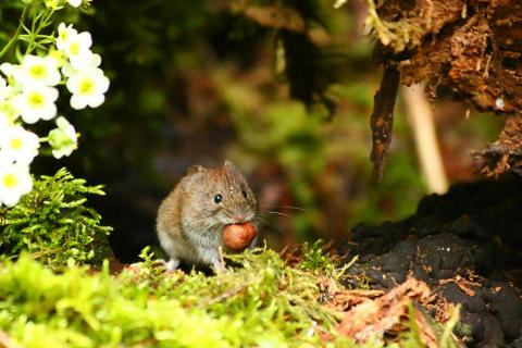 kleine Maus mit großer Nuss
